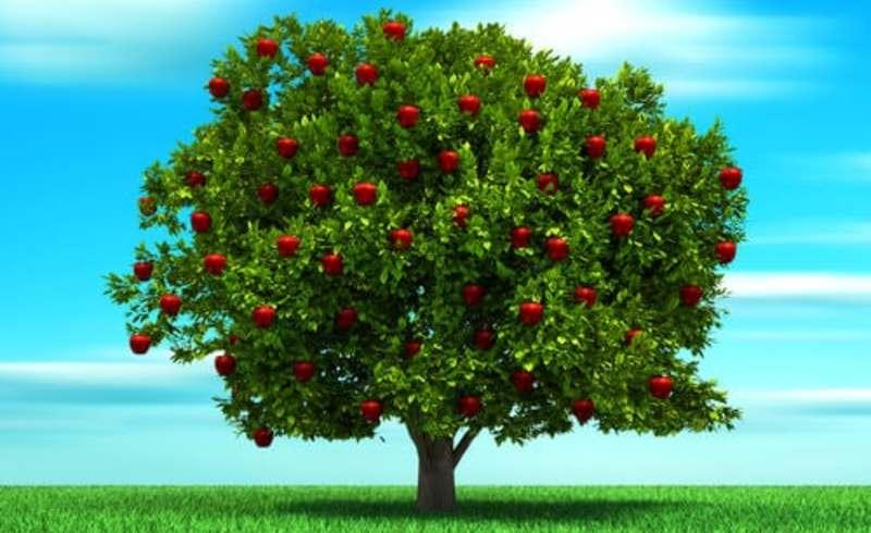Un árbol de manzanas